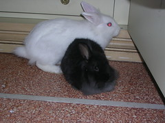 DSCN3836 (delilah84) Tags: bunnies animals guinea pig cavy rabbits animaux rodents fritz animali aku suria ronja conigli porcellino lapins cavia lagomorphs rongeurs roditori peruviano lagomorfi