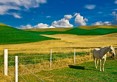 A horse in The Palouse
