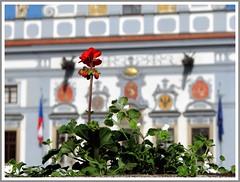 Geranium in focus (aGinger) Tags: old red flower town republic czech townhall geranium 2008 republika budejovice ceske budjovice esk czeske nmstpemyslaotakaraii