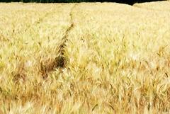 field of gold (Francesco [francepics]) Tags: west primavera field gold coast spring nikon wheat campo toscana oro grano emozioni blueribbonwinner marinadivecchiano aplusphoto diamondclassphotographer flickrdiamond d40x theunforgettablepictures theperfectphotographer goldstaraward