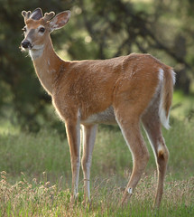 Young whitetail buck in velvet (mcd540) Tags: pictures white mountain mountains nature animal photo photos wildlife tail picture rocky velvet deer antlers rockymountains buck whitetail odocoileusvirginianus wildgame gameanimal