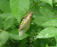 17-year locust in Southern WV