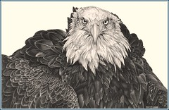 'Eagle Eyes' - Bald Eagle - Fine Art Drawings  www.drawntonature.co.uk (kjhayler) Tags: pictures sea blackandwhite fish bird art birds woodland painting photo eagle photos drawing birding paintings baldeagle bald picture drawings american raptor prints americana birdwatching eagles raptors birdsofprey birdofprey seabirds falconry fisheagle animalart wildanimals seaeagle baldeagles animalprints birdlife birdwatchers birdspotting northamerican wildbirds wildlifeimages eaglephoto woodlandbirds drawingpictures animalpictures seaeagles wildlifeart wildbird eaglepictures wildlifephotography birdart wildlifephotos animalphotos animaldrawings wildlifeartists fisheagles naturepictures birdphotos birdpictures americaneagles americanbirds birdsofamerica wildlifeportraits eaglephotos wildpictures animalspictures picturesofeagles eaglepicture wildlifeartist wildlifedrawings drawingphotographs kevinhayler pictureswildbirds eagleimages