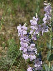 Penstemon buckleyi (CAJC: in the Rockies) Tags: blue penstemon oddshaped wfna buckleyspenstemon penstemonbuckleyi scrophularaceae