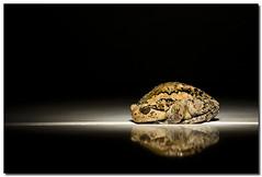 Poser *Explored (AlfredMendoza) Tags: animals frog toad azofdigitalediting pinoystrobist