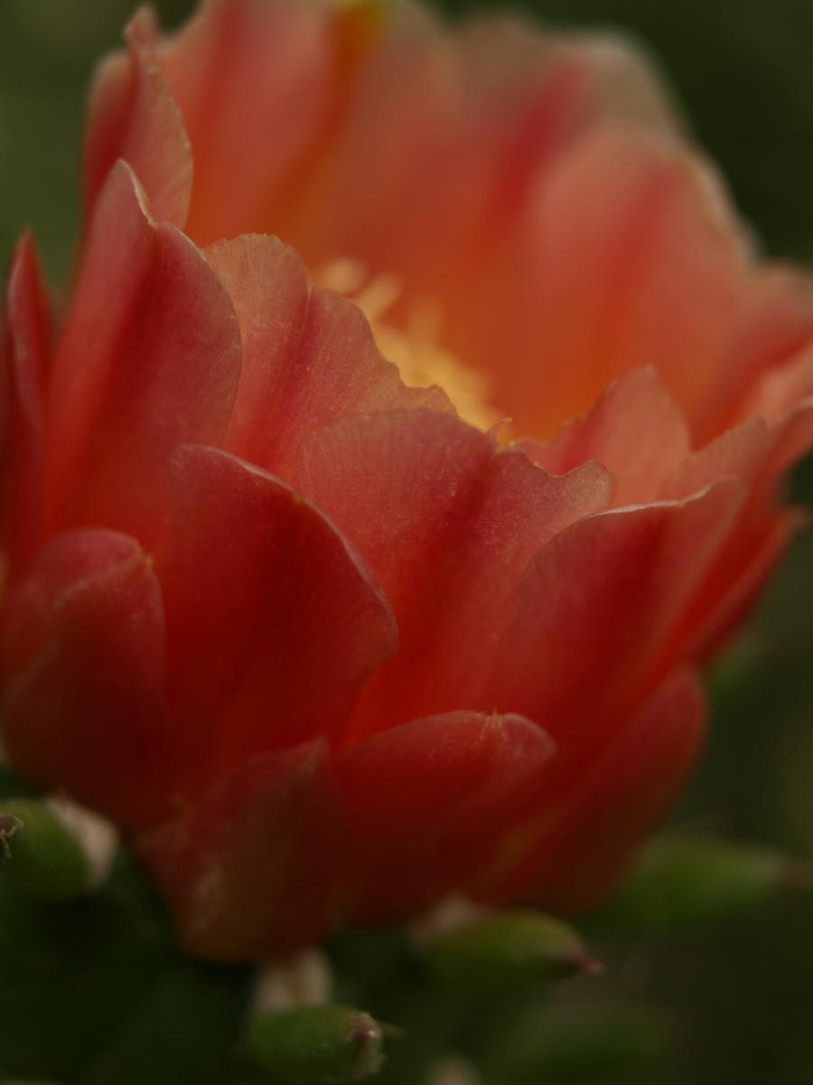 Flower of a cactus in Algeria II