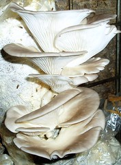 Oyster mushrooms at the Mushroom Tunnel, Mittagong
