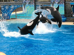 3 Killer Whales out of the Tank