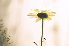 [フリー画像] 花・植物, キク科, ヒナギク・デイジー, 200807122100