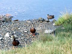 Ducks_essex70508c