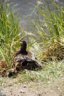 ducks at sprague lake, rmnp