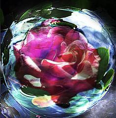 "Rose under glass (joshcalebwray) Tags: color water rose photoshop d50 globe nikon texas nikond50 adobe sphere granny tamron northtexas femalephotography photoenhancing joshcalebwray photoshopelements"" ""photomanipulation"