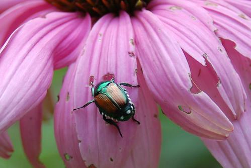 J. beetle