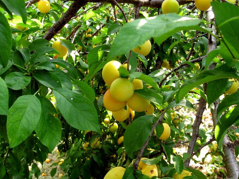 Orchard (1)