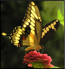 Giant Swallowtail (Papilio cresphontes ) Cramer, 1777 (rickm FL) Tags: nature wow butterfly florida explore zinnia inspire soe giantswallowtail naturesfinest awardwinner brooksville inspiredbylove totalphoto golddragon abigfave omot naturecoast specinsect visesdanatureza crystalaward citrit citritbestofyours heartawards theunforgettablepictures platinumheartaward macromarvels theperfectphotographer top5butterflies flickrestrellas ahqmacro multimegashot qualitypixels llovemypics vosplusbellesphotos allkindsofmacroscloseups neighborhoodnw09 newgoldenseal