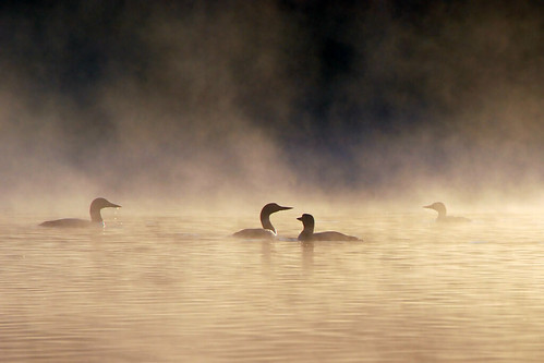 loons in the mist by Steve took it, on Flickr