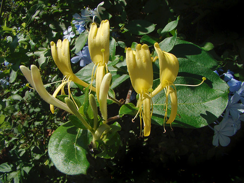 Lonicera japonica - Japanese Honeysuckle by mondomuse