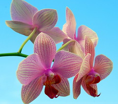 My Orchid is in bloom for the second time !! (Tante Bluhme's) Tags: orchid flower color chapeau bloom naturesfinest supershot mywinners abigfave anawesomeshot aplusphoto macroaward overtheexcellence colourartaward macromarvels rainbow11gallerywinners photographerparadise bestofmywinners