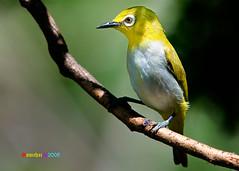 Oriental White-eye (somchai@2008) Tags: ed nikon nikkor f28 vr afs birdwatcher d300 400mm f28g orientalwhiteeye zosteropspalpebrosus nikond300  nikkorafs400mmf28gedvr