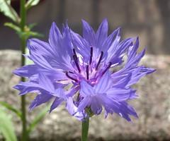 bleuet (Timothy-archer) Tags: flowers blue wild plant flower macro nature closeup fleurs plante bleue sauvage bleuet auniverseofflowers