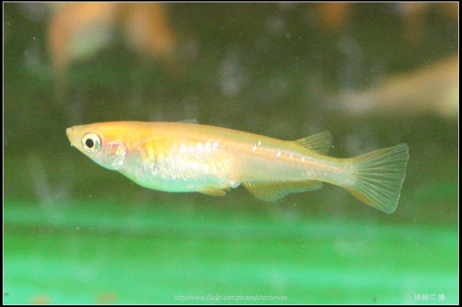 Female medaka -3 (日本青鱂魚)