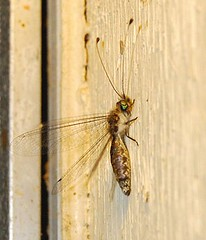 Owlfly With Its Wings Out