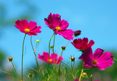Cosmos (floridapfe) Tags: pink blue autumn sky flower beauty nikon korea soe cosmos everland  naturesfinest d80 golddragon colorphotoaward ultimateshot theunforgettablepictures betterthangood