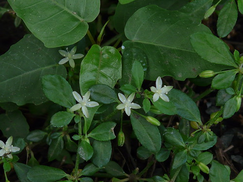 Indian Chickweed - Definition of Indian Chickweed