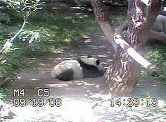 Zhennie says milk was good. (sue-pandas) Tags: panda zhen bai