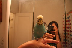 IMG_1042.JPG (Lodigs) Tags: blue pet reflection bathroom mirror budgie parakeet pal nibbler bobbler
