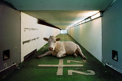 Bestial serie (Aur from Paris) Tags: france animals cow fake surreal montage photomontage unreal tunel ruraldecay couloir vache saintdenis boeuf surraliste aur sigmadp1