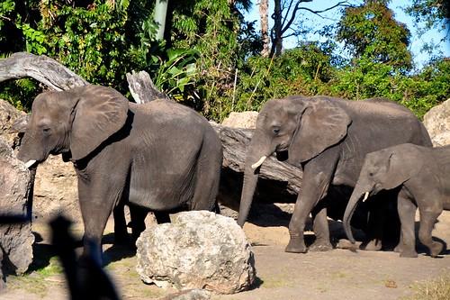 Elephant Herd - Kilimanjaro Safari