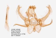 22.002  BF449 Prays fraxinella (Ash Bud Moth)_M (Patrick Clement.) Tags: moth slide microscope genitalia