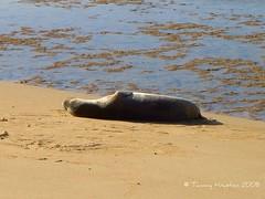 Monk Seal Resting (tammybeck) Tags: ocean beach hawaii sand seal kauai endangered 2008 mammals keebeach monkseal flickrgreen
