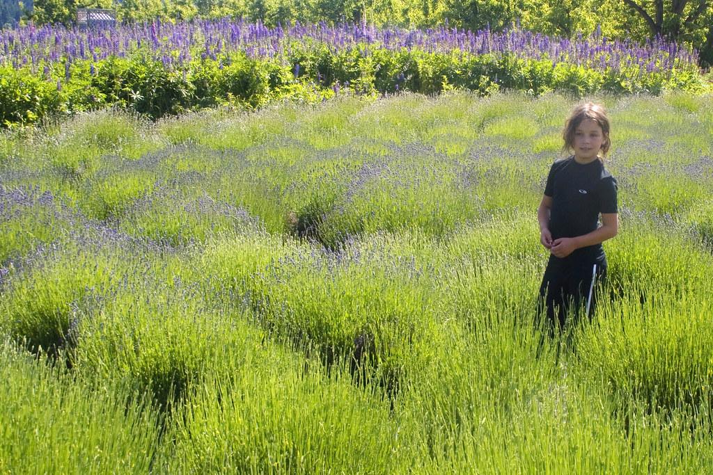 budding lavender farm