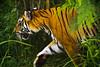 Sumatran Tiger (tropicaLiving - Jessy Eykendorp) Tags: wild bali animal fauna indonesia geotagged endangered sumatrantiger actionshot ef70300mmf4056isusm canoneos50d tropicaliving balimarineandsafarypark jessyce geo:lon=115157318 geo:lat=8817225 tropicalivingtropicalliving