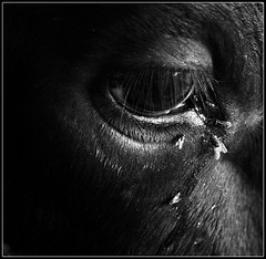 Drink my Sorrow [..Manikganj, Bangladesh..] (Catch the dream) Tags: bw black eye square cow fly blackwhite pain eyes tears drink bongo bull eat tear sorrow bengal bangladesh bangla pathos bengali bangladeshi bangali manikganj paturia theunforgettablepictures gettyimagesbangladeshq2