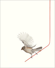 Gray / grey / Brown / Tufted titmouse / bird /  birds / on a red wire - / red / Brown /: tufted-02 (Bahman Farzad) Tags: red brown whi