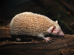 Kleiner Igeltanrek / Lesser Hedgehog Tenrec (Echinops telfairi) (Sexecutioner) Tags: portrait cute nature animal animals digital canon germany zoo hessen frankfurt wildlife natur madagascar 2009 kleiner frankfurter echinops frankfurterzoo madagaskar zoofrankfurt nachttierhaus noctarium flickrenvy lesserhedgehogtenrec telfairi echinopstelfairi tenrecidae theselectbest nachttiere copyrightsexecutioner kleinerigeltenrek igeltenrek