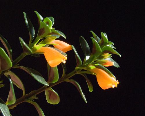 nematanthus gregarius goldfish plant. Nematanthus Gregarius