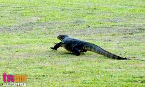 Lizard crawls out from Chinese Garden pond. So huge, it looks like crocodile!
