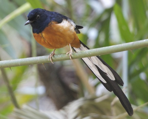beautiful photos of bird copsychus malabaricus