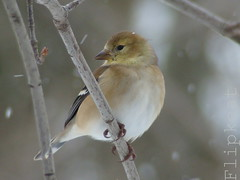 Silence Is Golden (flipkeat) Tags: birthday winter snow bird closeup port flickr different anniversary unique wildlife goldfinch awesome canadian finch credit american flickrversary avian birdwatcher carduelistristis naturesfinest supershot chardonneretjaune mywinners anawesomeshot impressedbeauty avianexcellence citrit goldstaraward natureselegantshots explorewinnersoftheworld dsch50 alemdagqualityonlyclub 100commentgroup vosplusbellesphotos thewonderfulworldofbirds dominiquitotriste dominiquitoviajero