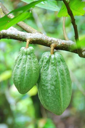 Cacao by StrudelMonkey.