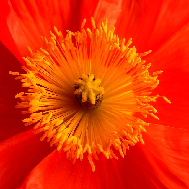 Poppy Sunburst