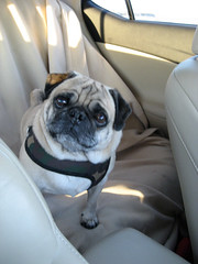 riding in cars with pugs