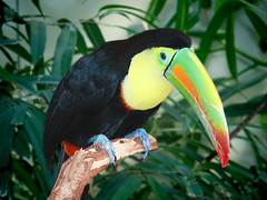 Fischertukan / Keel-billed Toucan / Rainbow-billed Toucan (Ramphastos sulfuratus) (Sexecutioner) Tags: portrait bird nature birds animal animals digital canon germany deutschland zoo tiere toucan colorful stuttgart wildlife natur vgel 2009 tier vogel zoos wilhelma keelbilledtoucan ramphastossulfuratus badenwrttemberg deuschland tukan supershot tucndepicomulticolor toucancarne ramphastidae specanimal zoostuttgart platinumphoto stuttgarterzoo fischertukan avianexcellence citrit ysplix tucanosolforato rainbowbilledtoucan zwavelborsttoekan thewonderfulworldofbirds tucanpicoiris copyrightsexecutioner sulphurbreastedtoucan piapocopicoverde tucnpicocanoa tucnpicodenavaja tucnpicoiris tucnpicomulticolor tucnpiquiverde tucanocarenato  kjlnebbtukan regnbuetukan  tukankrtkozob tukanlutoprs klnbbettukan rikkitukaani tukanteczodzioby tukantczodzioby
