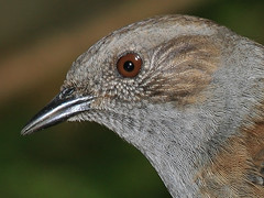 Brown Eyes. (Snaphappy#1) Tags: nature birds wildlife dunnock prunellamodularis canoneos5d coth thegalaxy specanimal anawesomeshot canonef100400lis alittlebeauty fabbow saariysqualitypictures canon430exii coth5 ringexcellence