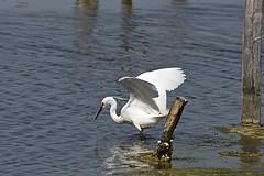 la pche de l'aigrette (TATIUMZI) Tags: france bird nature alpha 700 teich marais oiseaux aquitaine gironde aigrette leteich alpha700 sonyalpha700