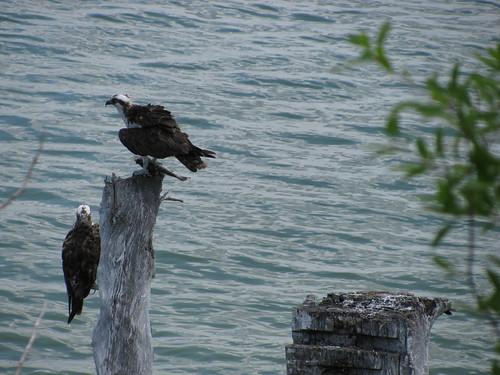 IMG_5634-Bowditch-osprey-profile